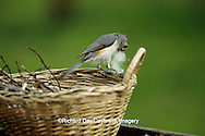 01298-00411 Tufted titmouse (Baeolophus bicolor) gathering nesting material from basket   IL