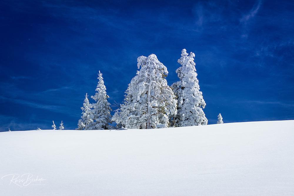Rime ice on pines, Ansel Adams Wilderness, Sierra Nevada Mountains, California USA