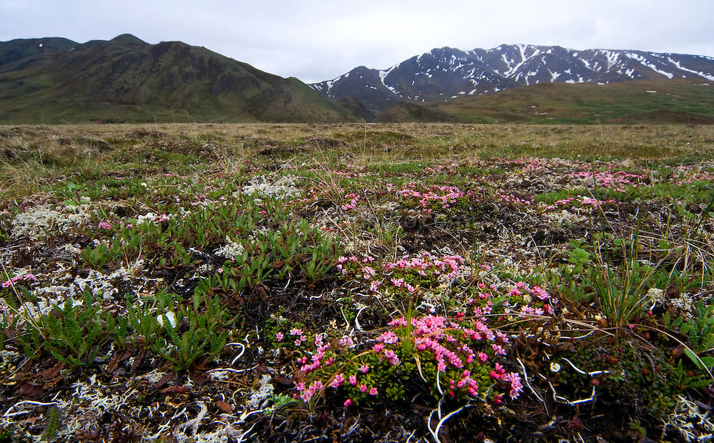 Alpine Tundra vegetation, in Denali National Park..