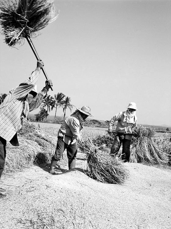 Threshing rice in the fields