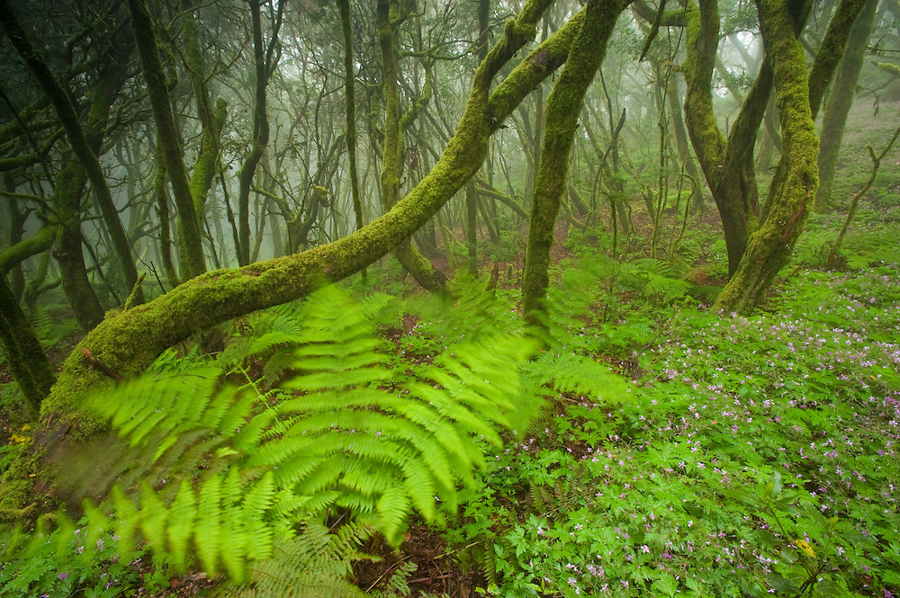 Laurisilva forests (Laurus azorica) among other trees in Garajonay National Park, La Gomera Island, Canary Islands, Spain.
