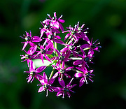 Himalaya onion or Jimbu (Allium wallichii), a beautiful plant from Napal that can be eaten.
