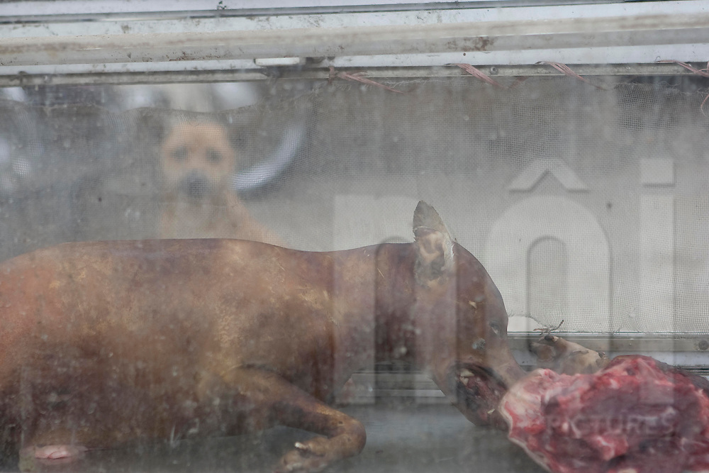 A burned dog is displayed in a dirty glass cabinet at a dog butcher shop, Vietnam, Asia. Silhouette of a dog alive behind