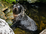 New Zealand fur seal pup (Arctocephalus forsteri) in the colony at Long Reef Point on the Tasman Sea near Martins Bay Hut, on the Hollyford Track, in Fiordland National Park, Southland region, South Island of New Zealand. After the arrival of Europeans in New Zealand, hunting reduced the seal population near to extinction. This mammal is known as kekeno in Maori language. Some call it Australasian fur seal, South Australian fur seal, Antipodean fur seal, or long-nosed fur seal. In 1990, UNESCO honored Te Wahipounamu - South West New Zealand as a World Heritage Area.