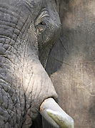 Detail of an African Elephant. Lower Zambezi National Park, Zambia..©Zute Lightfoot