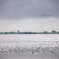 Nederland, Marken , 31 augustus 2011..Krooneenden en andere eendensoorten, ganzen en meerkoeten verzamelen in grote getalen in de Gouwzee..Ducks, geese and coots gather in large numbers in the Gouwzee in a typical Dutch landscape.