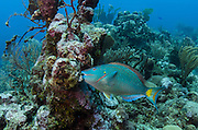 Stoplight Parrotfish (Sparisoma viride)<br /> Hol Chan Marine Reserve<br /> near Ambergris Caye and Caye Caulker<br /> Belize<br /> Central America