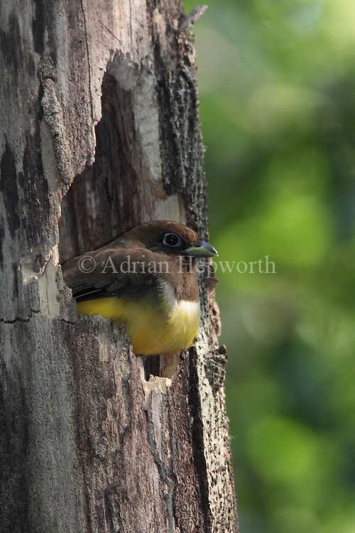 Female Black-throated Trogon (Trogon rufus) at nest entrance. Rainforest. Corcovado National Park, Osa Peninsula, Costa Rica. <br />