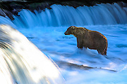 A Brown bear waits in the early morning light for salmon to jump at Brooks Falls, in Katmai National Park
