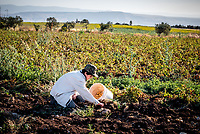 A young local farmer digs up and harvests potatoes from the fertile soil around Umm Qais.