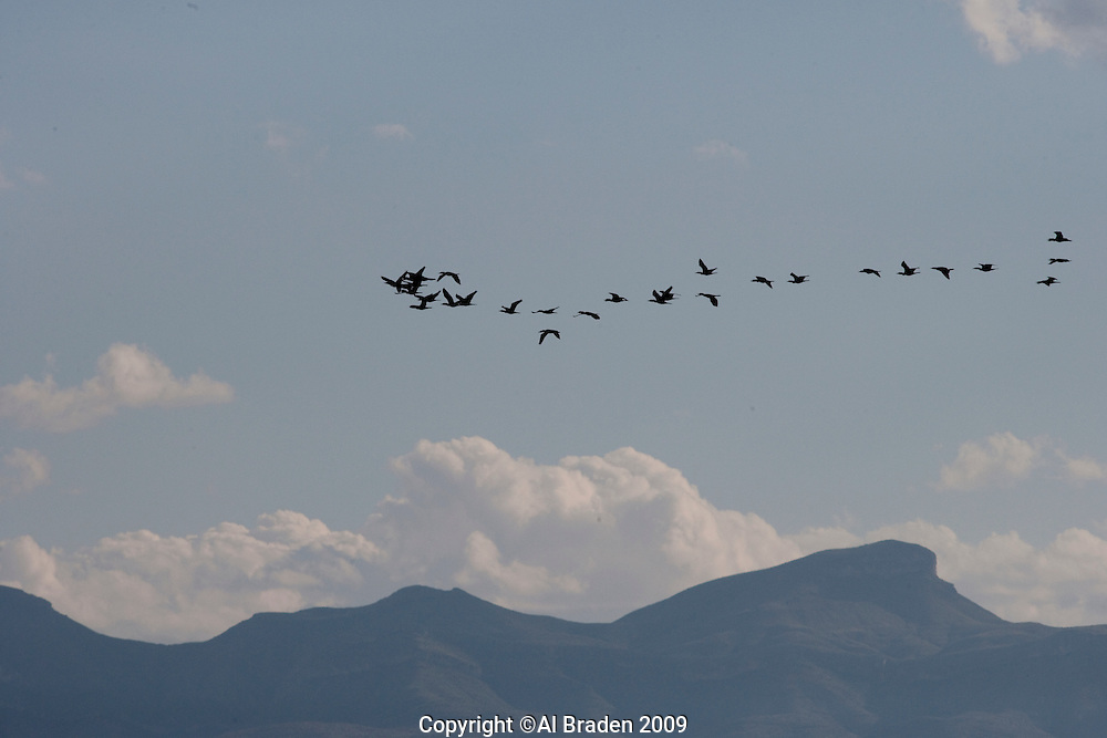 Geese in flight during fall migration near McNary, TX.