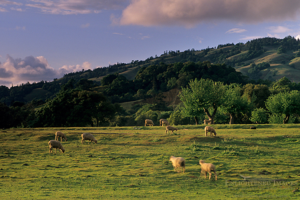 Sunset on green hills after a spring storm over sheep in pasture, Anderson Valley, Mendocino County, California