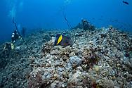 Yellowbar angelfish-Poisson-ange à croissant (Pomacanthus maculosus), Red Sea, Sudan.