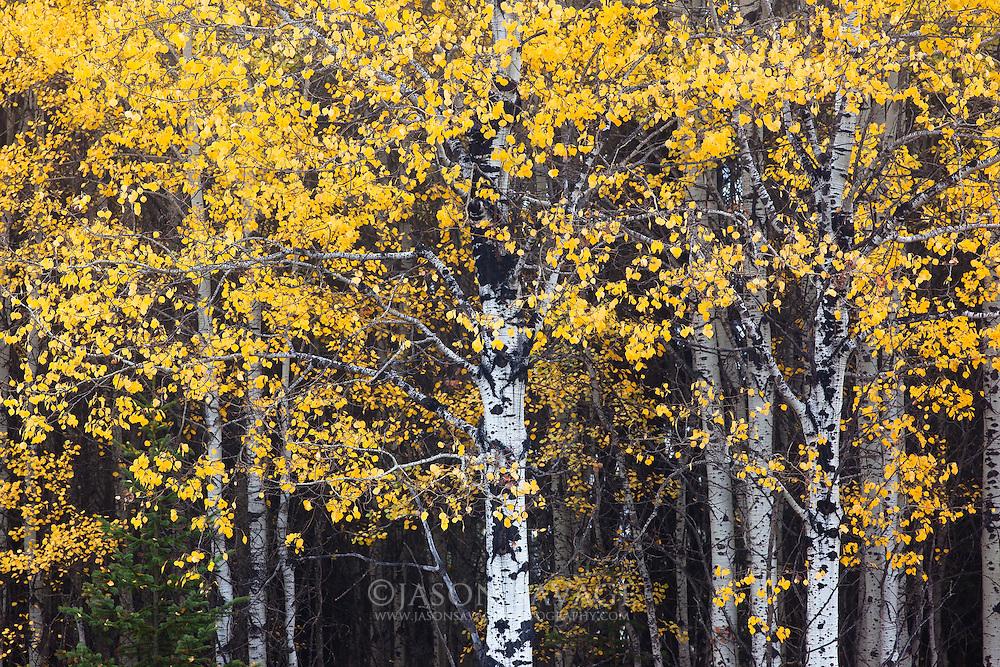 Aspens near Seeley Lake, Montana