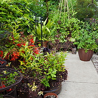 Urban front yard container garden with mixed edibles, annuals, perennials and shrubs.