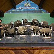 Different breeds of sheep are displayed during the sheep show at Agrodome, Rotorua. The Agrodome offers visitors the experience of seeing through the eyes of a New Zealand farmer. Situated just north of Rotorua city on a scenic 160 hectare sheep and beef farm, Agrodome gives visitors an educational and hands-on experience..  Agrodome includes a Sheep Show featuring 19 breeds of sheep, sheep shearing, cow milking, lamb feeding and dog demonstrations. .The Organic Farm Tour gives visitors a hands-on experience with a variety of farm animals. Rotorua, New Zealand,. 10th December 2010 Photo Tim Clayton..