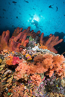 Soft Corals, Sponges, Diver, and Sunburst<br /> <br /> Shot in Raja Ampat Marine Protected Area West Papua Province, Indonesia