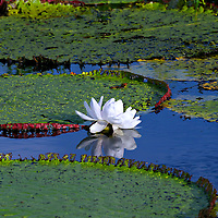 Victoria amazonica is a flowering plant native to the shallow waters of the Amazon River basin.  This photo of Victoria amazonica was taken in the Pacaya-Samiria Reserve section of the Amazon Rainforest in Peru.