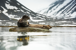 Harbor Seal Phoca vitulina) in Spitsbergen, Svalbard, Norway