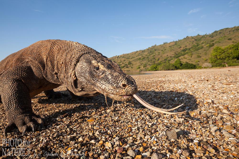 Dragon de Komodo (Varanus komodoensis) sur la plage sortant sa langue pour chercher de la nourriture, Ile de Komodo, Parc National de Komodo, Indonésie