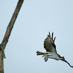 An osprey takes flight.
