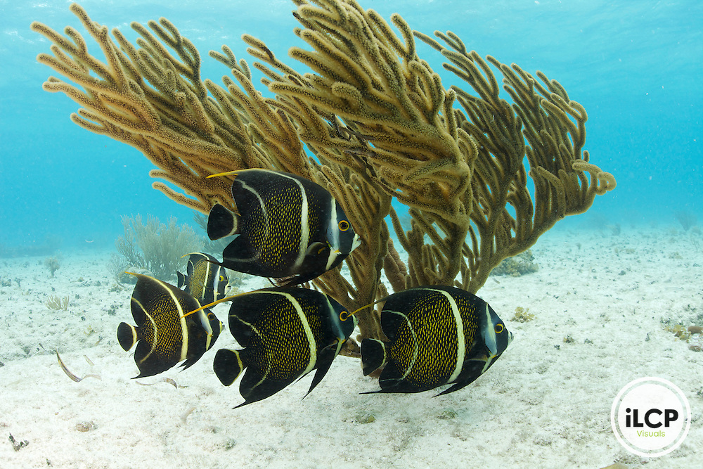 A school of beautiful French Angelfish swimming along the sandy bottom in front of a soft coral.