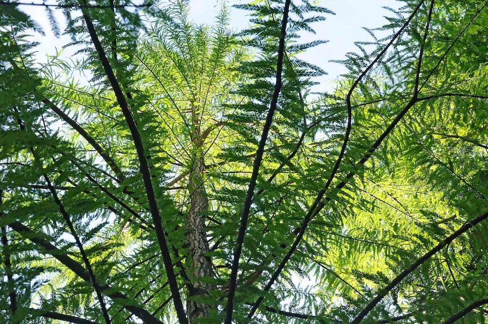 France, Languedoc Roussillon, Gard, Cevennes, Anduze, Prafrance, La Bambouseraie, arbre, Taxodium mucronatum