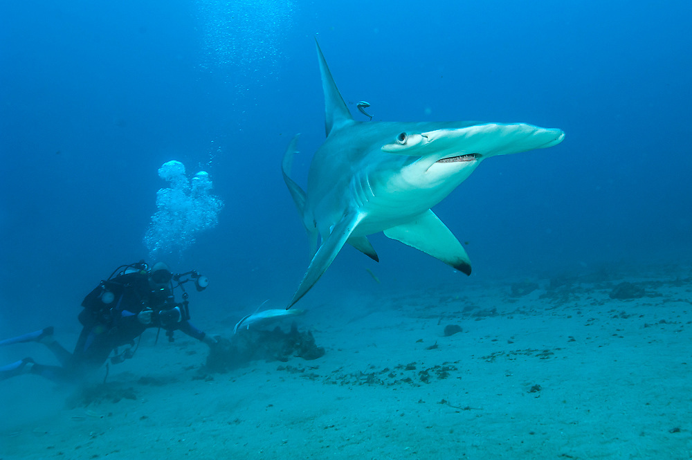 A scuba diver observes a Great Hammerhead Shark, Sphyrna mokarran, swimming offshore Jupiter, Florida, United States.