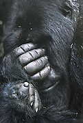 Imbaraga, silverback mountain gorilla; died of pneumonia 6 months after this picture made (1989); Volcanoes National Park, Rwanda