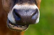 Cow on a farm  near Waiuku on North Island  in New Zealand
