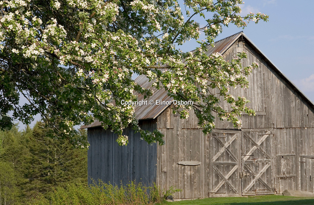 Vermont barn and apple blossoms