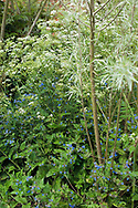 Willow stems & leaf with border of Pentaglottis sempervirens Alkanet & Anthriscus sylvestris (Cow Parsley) & fern fronds