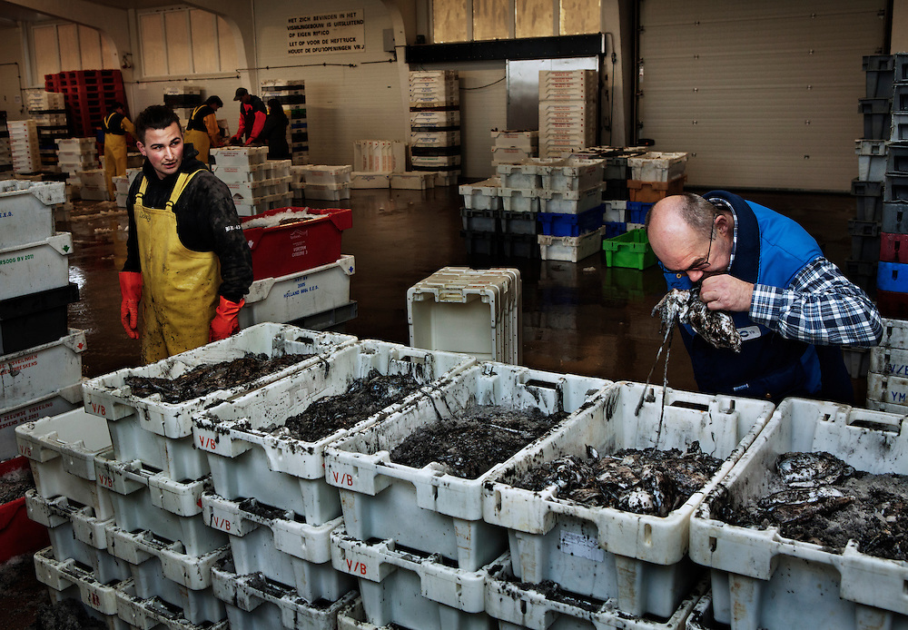Assessing the freshness of the catch at the fish auction. Breskens harbour, The Netherlands.<br />