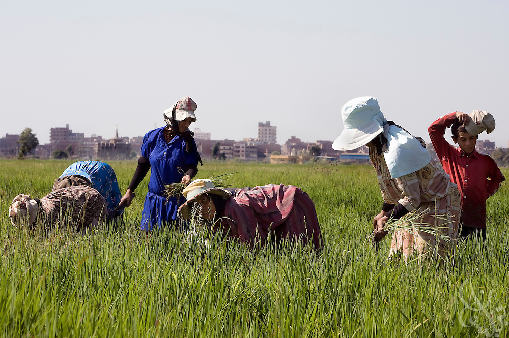 Egyptian women work August 05, 2008 in a rice field near Sakha, Egypt 130 kilometers NW of Cairo.  Egypt currently uses an estimated 80% of it's total available fresh water for purposes of irrigation.