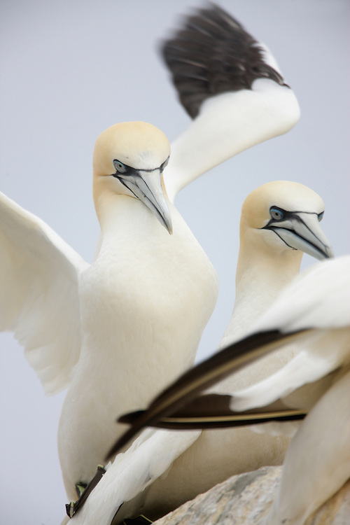 Gannets ( Sula bassana) Saltee Islands Ireland