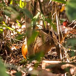 """""""Cutia (Dasyprocta leporina) fotografado na Fazenda Cupido e Refúgio, em Linhares, Espírito Santo -  Sudeste do Brasil. Bioma Mata Atlântica. Registro feito em 2013.<br /> <br /> <br /> <br /> ENGLISH: Common Agouti photographed at Cupido & Refúgio Farm, in Linhares, Espírito Santo - Southeast of Brazil. Atlantic Forest Biome. Picture made in 2013."""""""