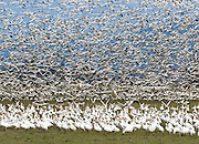 "Snow Geese are typically seen in large flocks up to 55,000 in winter in western Washington, USA. Most gather in the Skagit River Delta (Skagit County) between the towns of Mount Vernon and La Conner (near Fir Island Road and Best Road) from mid-October to early May. Published in ""Light Travel: Photography on the Go"" book by Tom Dempsey 2009, 2010."