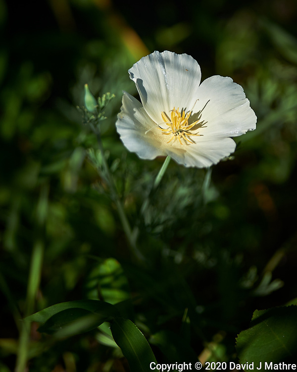 California Poppy. Image taken with a Nikon Df camera and 300 mm f/4 lens