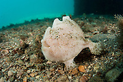 Striated frogfish, Antennarius striatus, walk along the bottom of the Lake Worth Lagoon, Palm Beach County, Florida.