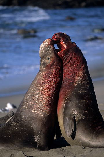 Northern Elephant Seal, (Mirounga angustirostris) Males fighting during mating season. California.