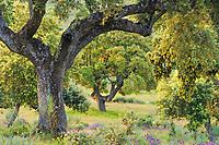 Dehesa forests with Holm oak (Quercus ilex) in Campanarios de Azába nature reserve, Salamanca Region, Castilla y León, Spain