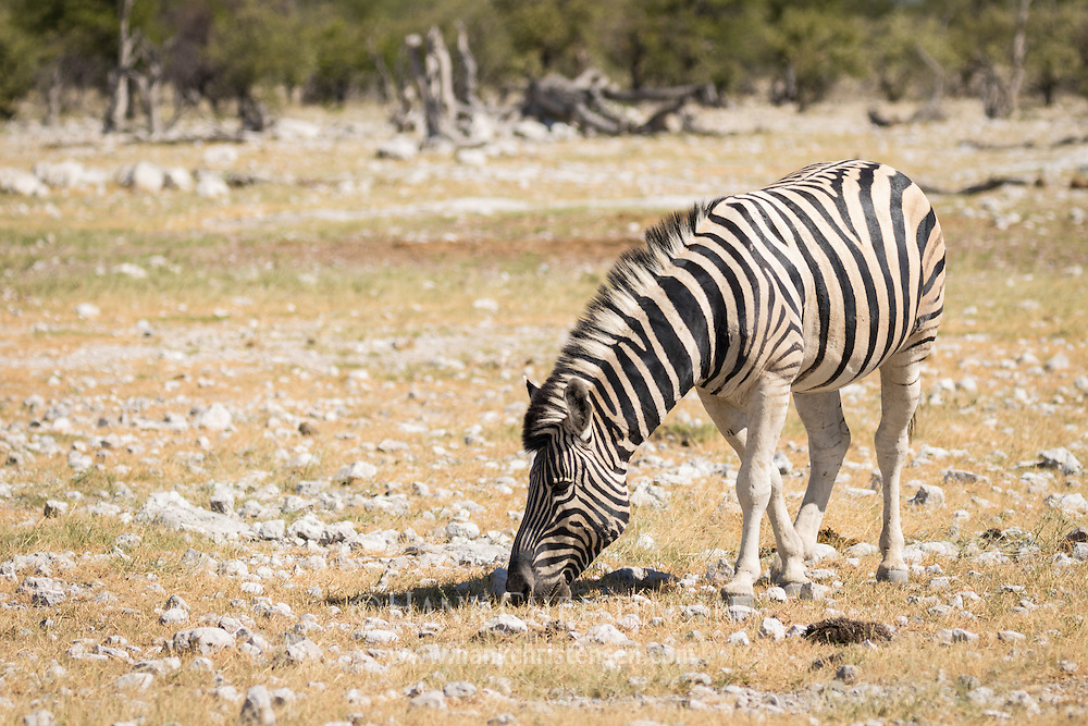 A plains zebra grazes in short grass, Etosha National Park, Namibia