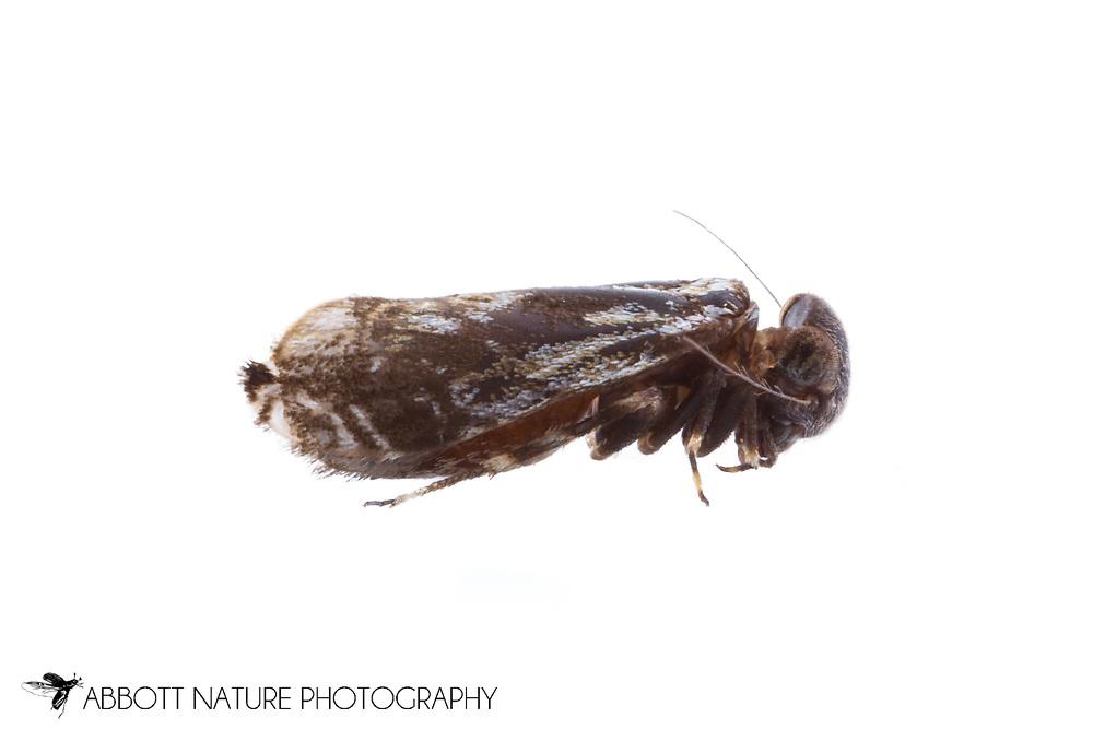 Bakr Louse (Lithoseopsis hellmani)<br /> TEXAS: Hays Co.<br /> San Marcos<br /> 8-May-2013<br /> J.C. Abbott &amp; K.K. Abbott