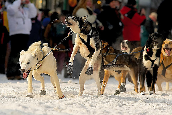 04 March 2006: Anchorage, Alaska - Co-lead dog of Eagle Rivers' Thomas Knolmayer gets excited prior to the Ceremonial Start in downtown Anchorage of the 2006 Iditarod Sled Dog Race