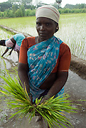 Women transplant paddy at the start of the grwoing seaon in November. Villupuram District, Tamil nadu.