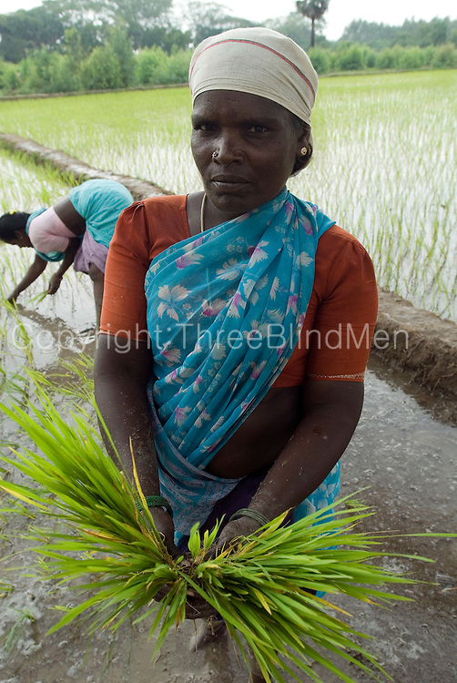 Women transplant paddy at the start of the grwoing seaon in November. Villupuram District, Tamil nadu.
