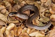 Herald snake (Crotaphopeltis hotamboeia)<br /> Marataba, A section of the Marakele National Park<br /> Limpopo Province<br /> SOUTH AFRICA<br /> Habitat & range: Marshy areas, moist savanna & grassland of se South Africa