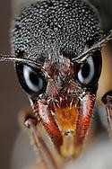 DEU, Deutschland: Portrait einer Harpegnathos venator, sie gehoert zu den Urameisen, den Ponerinae, eine sehr urspruengliche Ameisenart, ihr Verbreitungsgebiet ist Suedostasien, Indien und Malaysia, besitzt ein sehr gutes Sehvermoegen, springt bis zu 10 cm weit und kann rueckwaerts laufen, besonders auffaellig sind ihre seitlich stosszahnaehnlich geformten Mandibeln, mit den sie graben kann wie ein Bagger, Freiburg, Baden-Wuerttemberg | DEU, Germany: Portrait of a Harpegnathos venator, a species of ponerine ant, a very primary species of ants, the habitat is Southeast Asia, India and Malaysia, has very good eyesight, jumping up to a wide of 10 centimeter and walking backwards, the tusk like mandibles are very conspicuous, the ant used it for digging like a digger, Freiburg, Baden-Wurttemberg |