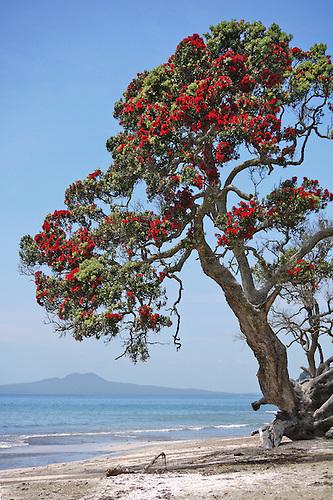 Lovely Christmas Tree On Beach,Pohutukawa, Tree, Beach, Sand, Sea, Flower