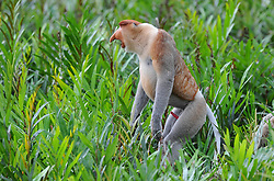 A male proboscis monkey is pictured at Labuk bay, on August 5, 2019 near Sandakan city, State of Sabah, North of Borneo Island, Malaysia. Palm oil plantations are cutting down primary and secondary forests vital as habitat for wildlife including the critically endemic proboscis monkeys. Photo by Emy/ABACAPRESS.COM
